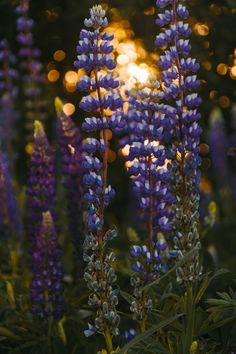 lupine at the sunset bokeh summer iPhone X wallpaper Depth Of Field Photography, Nature Photography, Photography Ideas, Bokeh, Purple Flowers, White Flowers, Solar Fairy Lights, Pink Photo, White Gardens