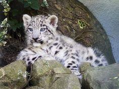 Clouded Snow Leopard Cub Resting on Some Flat Rocks. Beautiful Cats, Animals Beautiful, Big Cats, Cats And Kittens, Snow Leopard Wallpaper, Snow Leopard Tattoo, Leopard Cub, Animal Antics, Exotic Pets