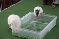 pea fishing box – I've done this before and it is insanely cute! pea fishing box – I've done this before and it is insanely cute! Pet Rodents, Pet Rats, Hamsters, Cage Rat, Pet Rat Cages, Rat Food, Rat Care, Animals And Pets, Cute Animals