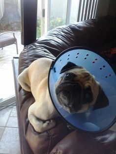 Albus and his cone of shame!