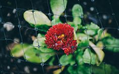 Under Wet Mesh - Small red flowers peeking out through meshing in a public planter.