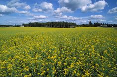 A field in the summer, Finland