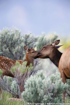 Elk calf in Yellowstone National Park, Wyoming