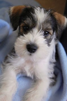 hilo, our baby miniature schnauzer. ...........click here to find out more http://googydog.com