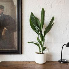 Howard our Aspidistra is the perfect plant for beginners and busy Londoners. Learn more about the Cast Iron Plant & buy online from Patch. Ficus Pumila, Small Courtyard Gardens, Small Gardens, Luz Natural, Cast Iron Plant, Thrifty Decor, Seasonal Flowers, Home Living Room, Garden Furniture