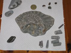 Fossil Finds from Charmouth Beach