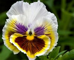 Amor-perfeito - Viola × wittrockiana e Viola tricolor
