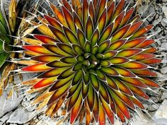 Agave pelona (Mescal Pelon) is a superb, solitary succulent plant, similar to Agave ocahui. It forms a beautifully rounded rosette up to...
