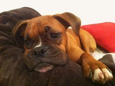 my Lola - boxer dog extraordinaire