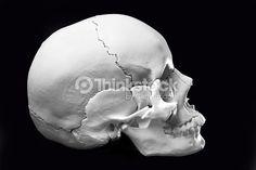 성별 특징을 한눈에 알 수 있도록 생긴 고마운 두개골 샘플. 스톡 사진 : Model of a human skull