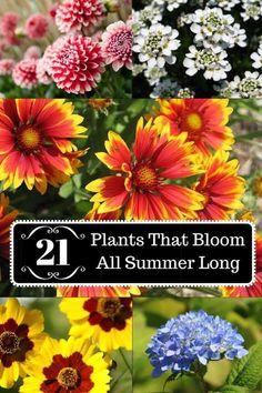 21 Plants That Bloom All Summer Long Here is a wide selection of beautiful summer plants which bloom profusely throughout the season without much pampering from you. Dried Flower Arrangements, Dried Flowers, Long Flowers, Blue Flowers, Wedding Flowers, Flowers Perennials, Planting Flowers, Flowers Garden, Lantana Flower