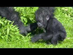 Salome and Kukena ( Bristol Zoo's Gorilla baby at 7 months. Reasons To Be Vegetarian, Bristol Zoo, Promised Land, 7 Months, Animal Pictures, Dancing, Lion, Blessed, Youtube