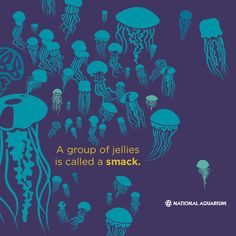 A group of jellies is called a smack.
