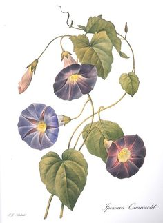 Ipomoea--some of these illustrations are as beautifully arranged as an ikebana...