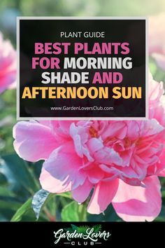 While many plants prefer morning sun and shade during the heat of the day, that is not always what meets your landscaping needs. You may have areas near your home or other buildings, on the side of fences or around trees that get morning shade and afternoon sun.If you struggle with finding plants that grow well in your growing zone, consider these choices that prefer cover from the sun in the morning and bright light later in the day. Virginia Bluebells, Growing Peonies, Tree Peony, Hosta Plants, Plant Guide, Morning Sun, Seed Pods, Salvia, Types Of Plants