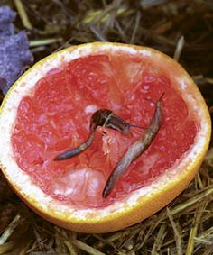 Tip for gardeners ~ Grapefruit rinds lure slugs + 35 other garden tips and remedies {good to know}