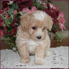 Elise's Maltipoo puppies from the puppy specialists of mixed breed puppies. We are dog breeders raising happy, healthy puppies. Maltipoo Puppies For Sale, Toy Poodle Puppies, Mixed Breed Puppies, Best Small Dogs, Dog Breeders, Cheer Mom, Avocado, Hair Styles, Animals