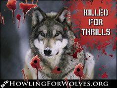 TAKE ACTION! Sign the Petition http://www.howlingforwolves.org/ and Tell Congress to Investigate Wildlife Services Now!     Wildlife Services' agent Jamie P. Olson sic'd his dogs on live coyotes that were captured in steel-jawed traps. Wildlife belong to all Americans; they must not be brutalized by federal employees.     https://secure3.convio.net/wg/site/Advocacy?pagename=homepage=UserAction=547=true=cyy2gubwb7.app334b