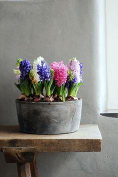 syflove:hyacinths