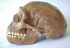 Esta imagen ilustra el cráneo de los Homo Erectus, desde una expectativa del perfil.