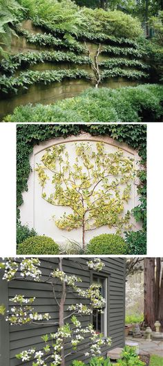 Espalier...such a clever choice for a garden with limited space. Creates wonderful visual interest.