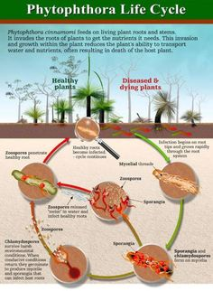 Phytophthora dieback is a plant-destroying invasive species that is decimating Australia's unique ecosystems and is projected to cost the economy billions!