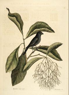 Chionanthus virginicus L. White Fringetree, Grancy Gray-beard, Old-man's Beard Catesby Volume I plate 68