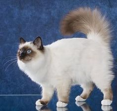 birman cat, sacred birma. Except for the white dipped paws they are very similar to Siamese