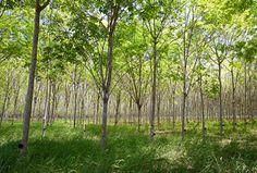 Rubber Tree (Hevea brasiliensis)