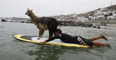 surfing alpaca -- Now I've seen everything.