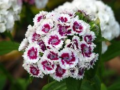 Dianthus Seeds Mix Sweet William Flower Seeds 200 by Flower Drawing Images, Flower Images, Flower Pictures, Most Beautiful Gardens, Beautiful Flowers, Red Flowers, Saint William, Dianthus Barbatus, Dianthus Flowers