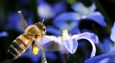 Bees' Decline Linked to Pesticides, Studies Find - NYTimes.com