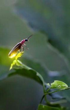 Firefly - The Lampyridae are a family of insects in the beetle order Coleoptera. They are winged beetles, commonly called fireflies or lightning bugs. Beautiful Creatures, Animals Beautiful, Cute Animals, Magical Creatures, Beautiful Bugs, Amazing Nature, Foto Macro, Cool Bugs, Fotografia Macro
