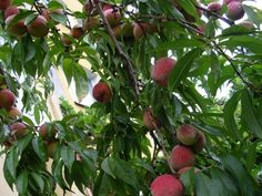 Peach Tree Care: How To Grow Peaches - If you are growing peach trees, you know that they require lots of sunshine. Additional care of peach trees is not too difficult either. Read this article to learn more about peach tree care in the landscape.