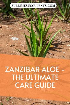 Zanzibar Aloe looks beautiful as ground cover or can be a trailing plant when hung up. Sublime Succulents offers a comprehensive care guide to take care of this plant. It is also known as Juvenile Aloe. We address its optimal environment that includes light exposure, watering frequency, the suitable temperature range and friendly soil conditions. Learn how to propagate as well as protect it from pests and other problems. Learn more… #zanzibaraloecare #juvenilealoecare #aloejuvennacare Cacti And Succulents, Cactus Plants, Succulent Species, Cactus Care, Succulent Care, Propagation, Amazing Gardens, Aloe, Garden Ideas