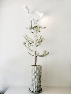 帝錦 Euphorbia lactea variegata White Ghost ユーフォルビア ホワイトゴースト