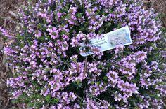 Mediterranean Pink Heather // Thrives near ocean, according to local landscaper // get more next spring!