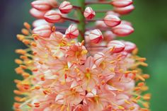 Foxtail lily - Steppenkerze Blütentürme fürs nächste Jahr: Steppenkerzen pflanzen