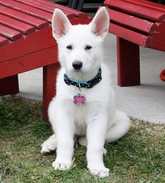 White German Shepherd pup!