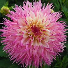 Dahlia Tubers | Dahlia 'Pinelands Princess' - pack of 3 tubers - Rose Cottage Plants