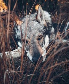 Happy and lazy Sunday, guys! We have the last 50 pieces of our Lightroom Presetspack 2018 for you! They will not resell again. Beautiful Wolves, Beautiful Dogs, Animals Beautiful, Animals And Pets, Cute Animals, Wolf Hybrid, Wolf Love, Wolf Pictures, Wild Dogs