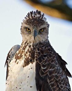 Martial Eagle |