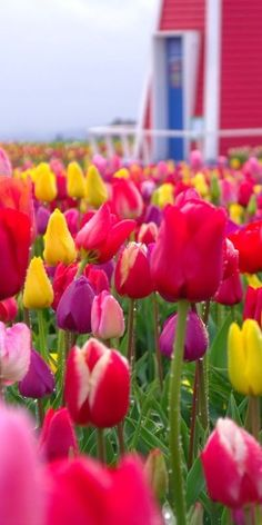 Tulips from Holland are in season when we need them most! These beautiful blooms will brighten even the snowiest winter days. Calla Lillies, Calla Lily, Lilies, Love Flowers, Beautiful Flowers, Beautiful Images, Wild Flowers, Portland Japanese Garden, Tulip Fields