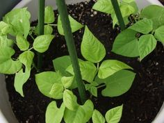 Potting Mix And Container Size For Growing Beans: Tips On How To Grow Beans In…