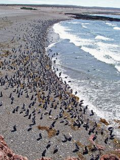 Magellan Penguins colony - Punta Tombo, Argentina