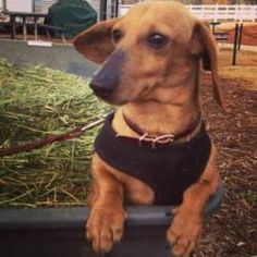 Rompin Riley is an adoptable Dachshund Dog in Forest Ranch, CA. Animal's name: Rompin' Riley Age (years): 4 Weight (pounds): 12 Spayed/Neutered: Yes Coat: Smooth Color: Red Adoption fee: 250 Riley was...