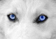 white wolf with blue eyes, amazing