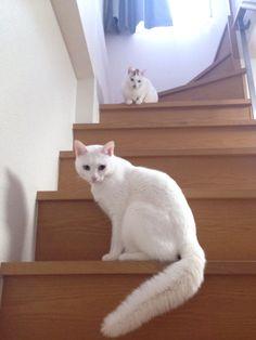 where is it?  #cat #pet #petsitter #setagayaku #cute #かわいい #猫 #白猫