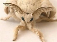 poofle moth - Yahoo Image Search Results