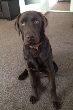 Old Chocolate Labrador images